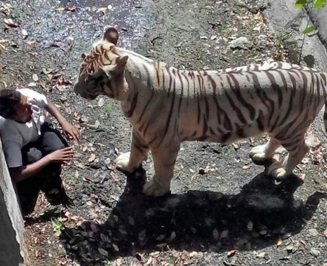 मकसूद बाघों के प्रति अपनी सनक के चलते ही मारा गया, केंद्र