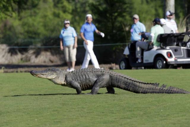 13 फुट लम्बा मगरमच्छ घुसा गोल्फ क्लब में