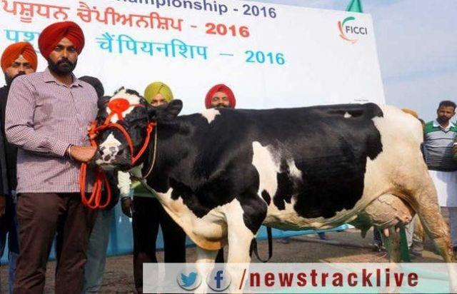 यह गाय देती है एक दिन में 66.7 लीटर दूध, बनाया रिकॉर्ड