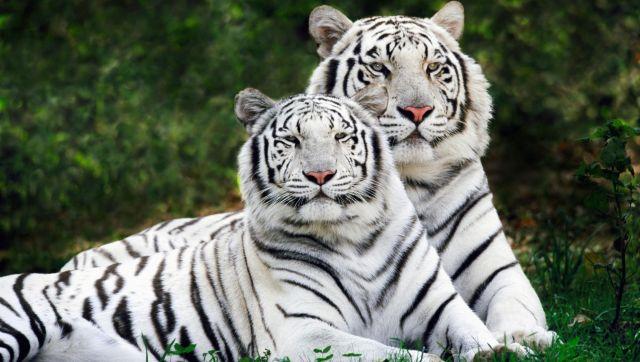 कहानी सफेद बाघ की