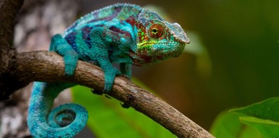 chameleons are able to change the color due to this reason