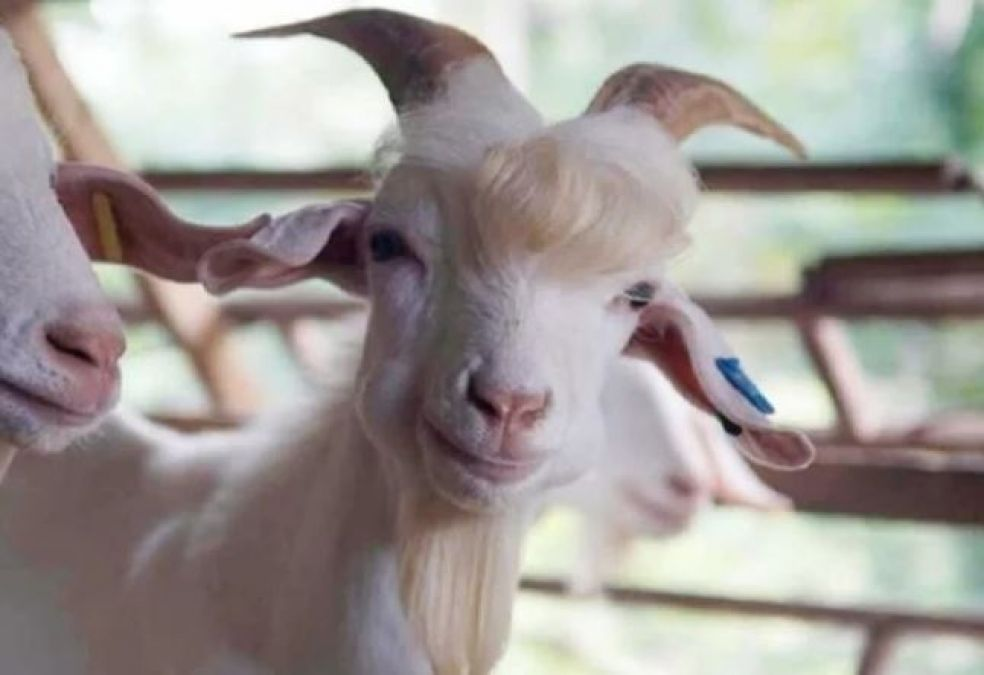 This goat starts posing on seeing camera