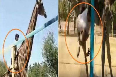 VIDEO: Drunk Man Climbs And Rides on Giraffe in Kazakhstan Zoo