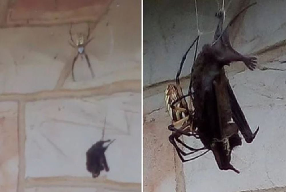 VIDEO: Fly is dangerous or bats, who died face-to-face?