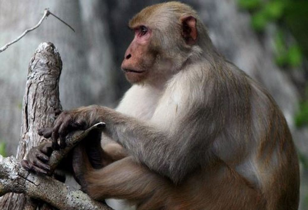 Monkey was working like humans, the video went viral!
