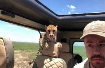 Cheetah jumped into a terrified tourist's jeep during a safari