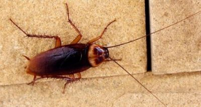 Amazing Facts: Facts about cockroaches you need to know
