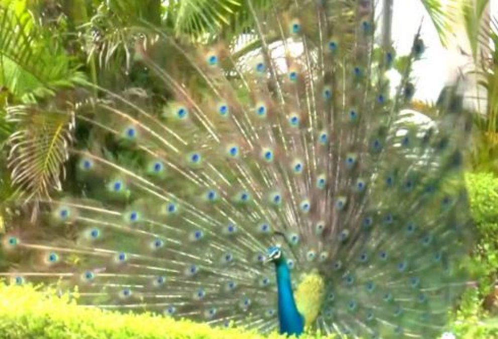 Video: Several peacocks seen dancing near railway line, check out the unmissable video