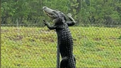 Video: Alligators caught climbing fences and swimming across roads
