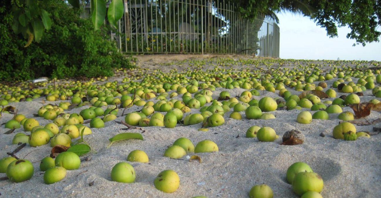 ये है मौत का सेब, इसके पेड़ का हर हिस्सा है जहरीला