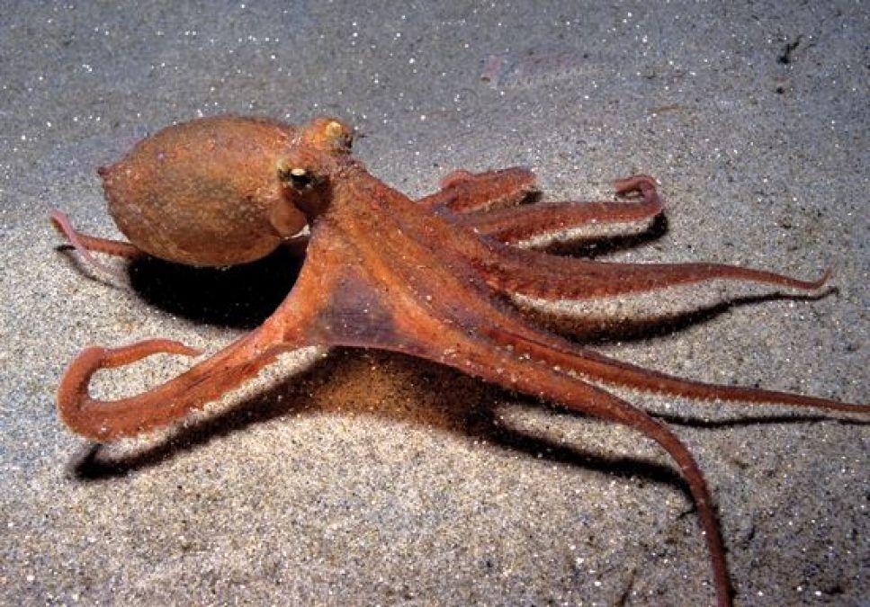 3 दिल वाला बिना हड्डी का जीव है Octopus, जानें रोचक जानकारी