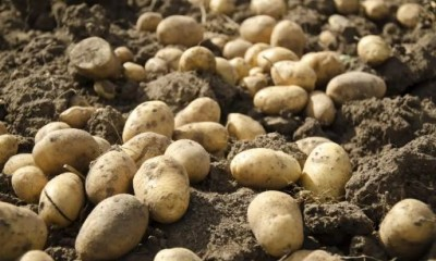 Know about this country where millions of people lost their lives due to potato
