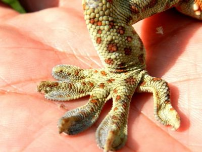 The rare species of lizard going viral on social media, know its specialty
