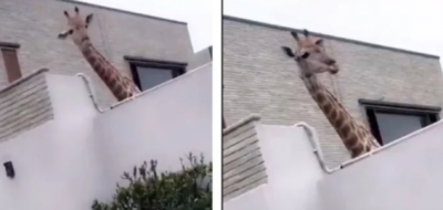 Public got angry on this person who was raising a giraffe in his house