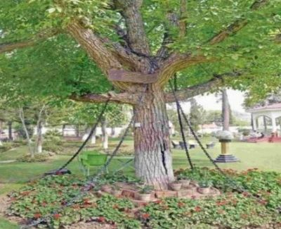 This tree has been imprisoned in chains since 121 years ago