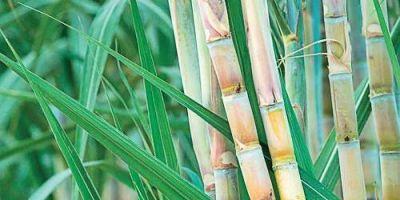 किसानों ने निकाली गन्ने की शवयात्रा, रीति-रिवाज से किया अंतिम संस्कार