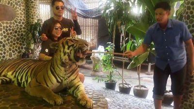 सेल्फी अच्छी आये इसलिए दिनभर मारा जाता है Tigers को
