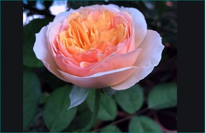 ROSE DAY: Juliet Rose world's most expensive rose