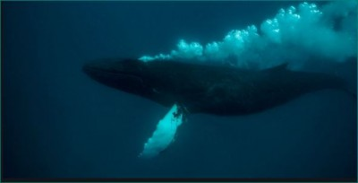 Whale blowing bubbles while floating in water, Watch video
