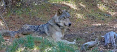 This female wolf traveled 14,000 km in search of love