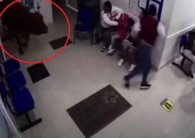 Cow runs into Colombian hospital waiting room, watch video