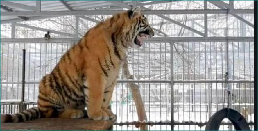8 महीने का बाघ निकाल रहा पक्षियों और बंदर की आवाज, वीडियो वायरल