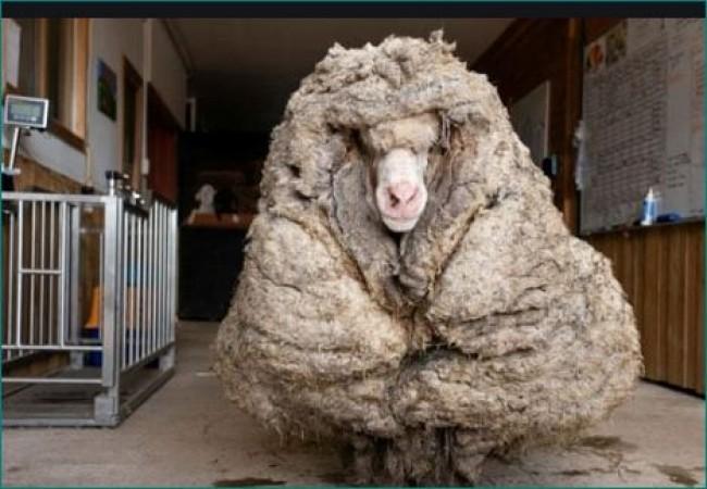 5 साल से भटक रही थी भेड़, रोएं काटे तो निकला 35 किलोग्राम ऊन