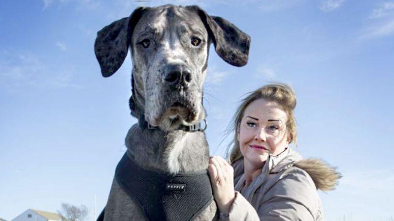 ये है दुनिया का सबसे बड़ा Dog, देखकर भी यकीन नहीं करेंगे आप