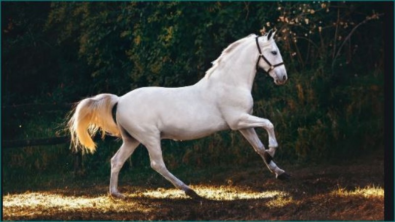 नाचते हुए घोड़े ने मारी मालिक को लात और नचा दिया, वायरल वीडियो