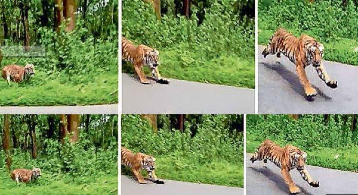 बाइकर सवारों के पीछे पड़ा बाघ, देखें डरावना वीडियो