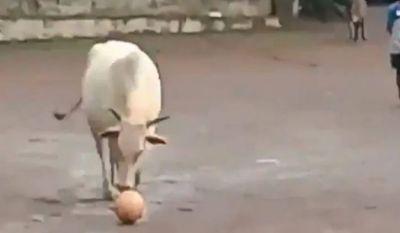 मैदान में जब गाय खेलने लगी फुटबॉल, वीडियो हो गया वायरल