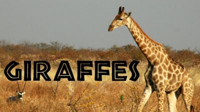 Giraffe Takes Just 30 Minutes of Sleep, See other Facts