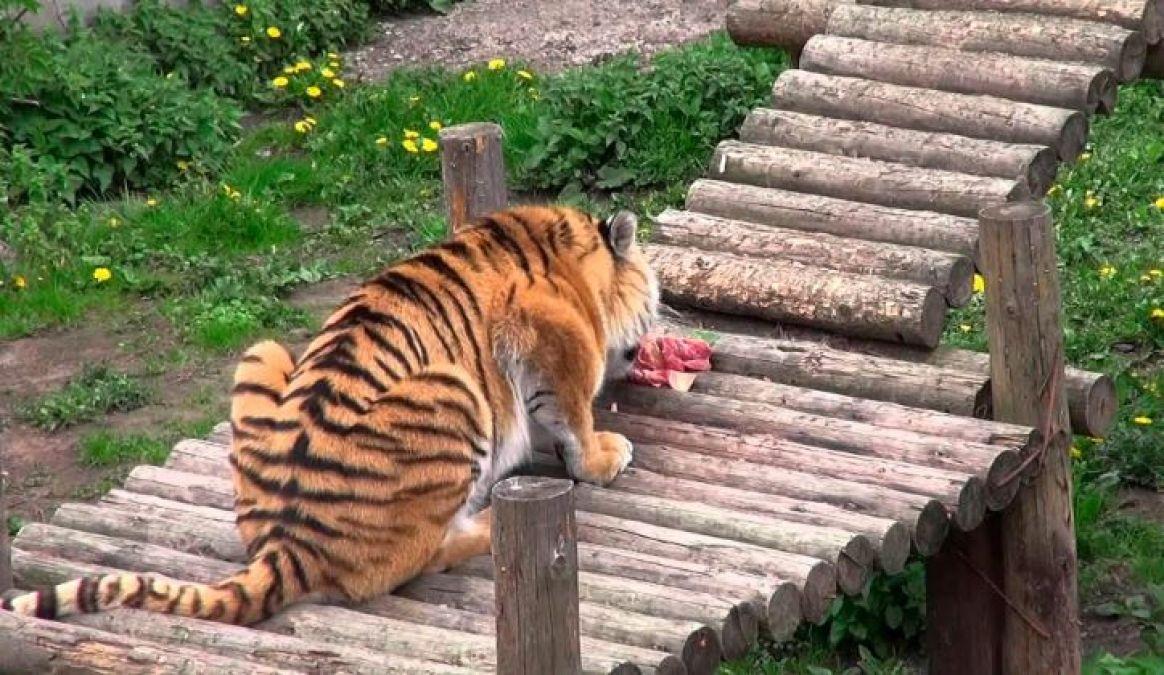 Video : बाघ को खाना देने गई थी लड़की, होगया भयानक हाल