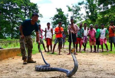 चाय के बागान में निकला 14 फीट लंबा किंग कोबरा, मची हड़कंप