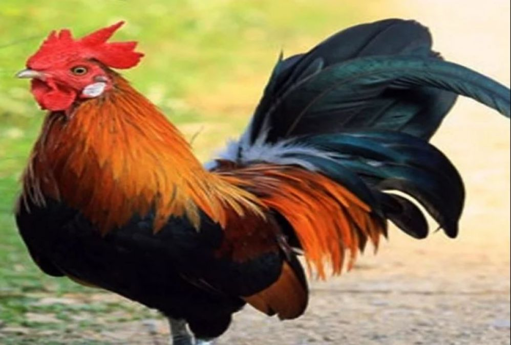People troubled by a rooster, the case filed