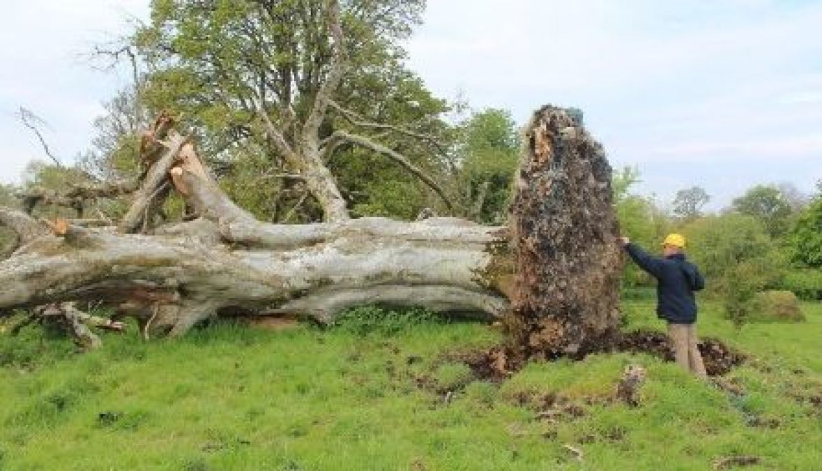 A 215-year-old tree that fell from a storm, a shocking thing came from the root!