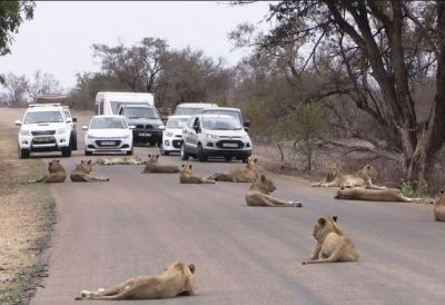 The lionesses were relaxing on the roads which lead to traffic jam and then...