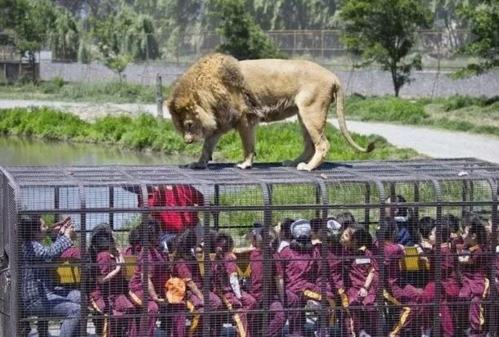 अनोखा और खतरनाक है ये ज़ू, पिंजरे पर चढ़ जाते हैं शेर