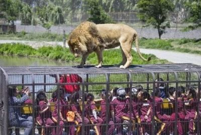 These Zoos are Unique and Dangerous, Lions mounted on Cage