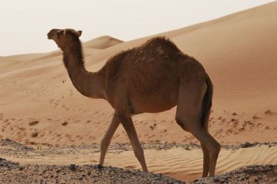 Camel Can Drink 100 Liter of Water At A Time, Know other amazing facts