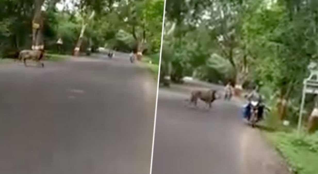 Viral video: Lion crosses busy road, people got shocked