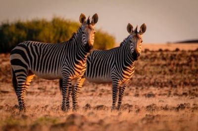 Amazing Facts: this you probably don't know about Zebras
