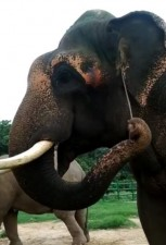 Elephants use a piece of twig to scratch ear and mouth