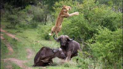 Buffalo attacks lion in Jungle, watch video here
