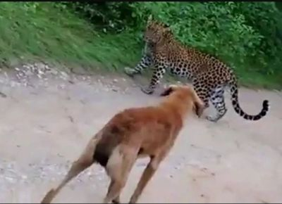 The dog saved the owner's life by attacking the tiger