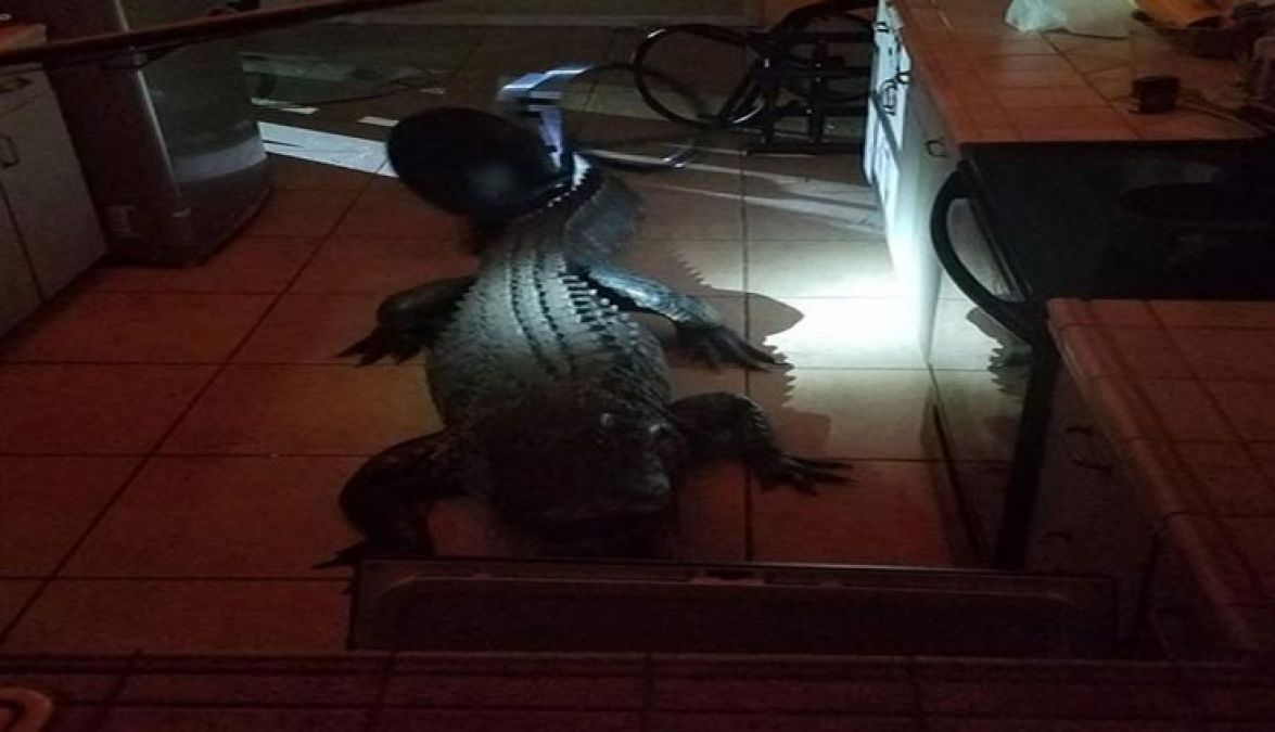 By spotting a crocodile in the kitchen, a woman loses senses...