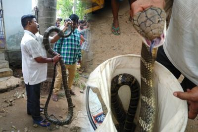 By seeing 12 feet long python people get the senseless, caught by this way