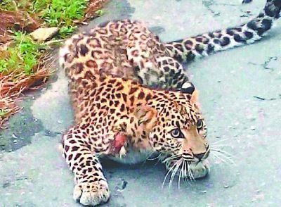 Leopard attack on 7-year-old innocent, 14-year-old brother action gives you goosebumps