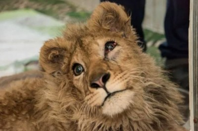 lion cub got tortured for taking photos, this person saved its life