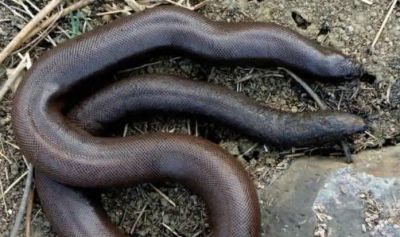 Millions of bugs used for smuggling of these unique snakes